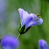 grasshopper in the flax