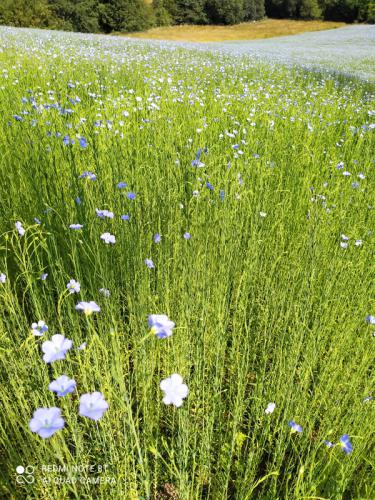flax in the sunshine